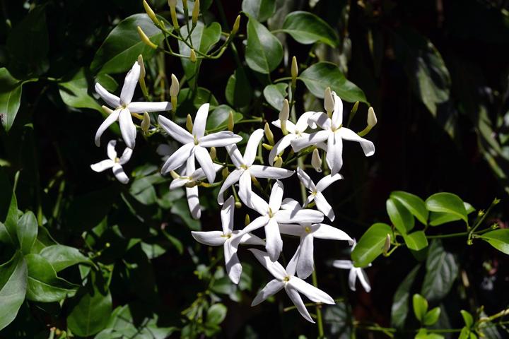 Quali fiori scegliere per il balcone di primavera for Gelsomino rampicante