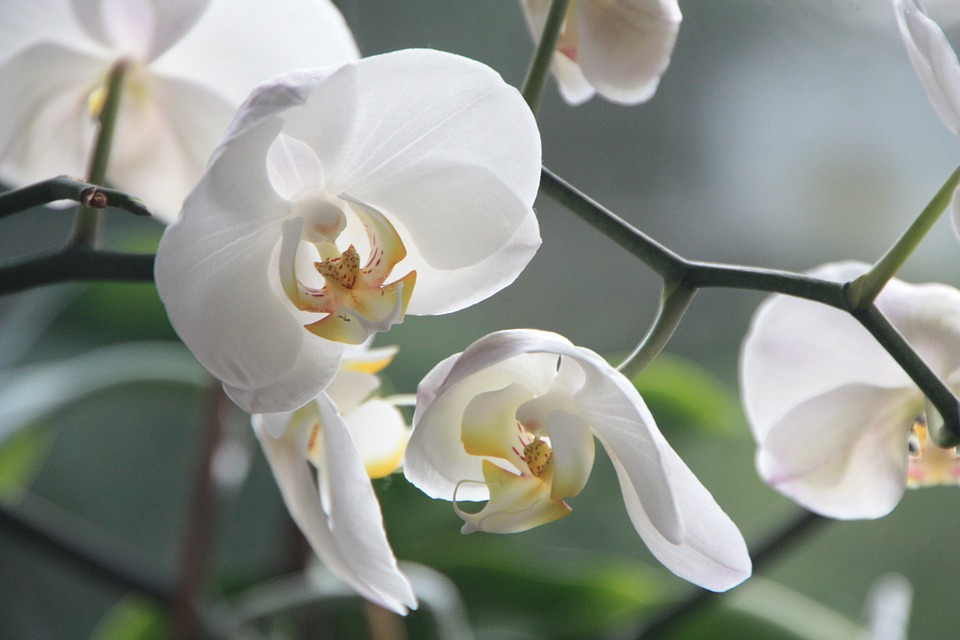 orchid-4780_960_720
